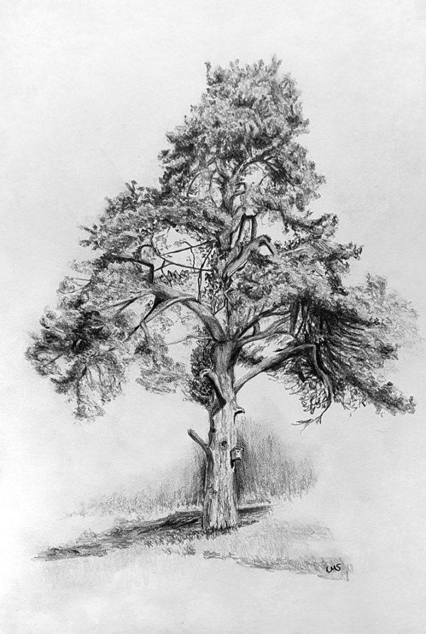 Scottish Conifer